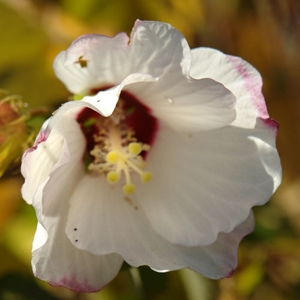 Hibiscus Syriacus Red Heart Red Heart Althearose Of Sharon White