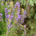 Anise Hyssop Agastache 'Blue Fortune' Lavender/Blue
