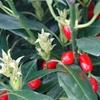 Aucuba Aucuba japonica