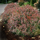 Bagatelle Japanese Barberry Berberis thunbergii 'Bagatelle' Yellow