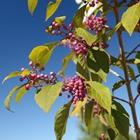 Beautyberry Callicarpa bodinieri 'Profusion' Pink