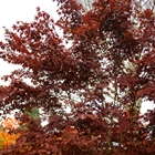 Bloodgood Japanese Maple Acer palmatum 'Bloodgood'