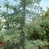 Blue Arizona Cypress Cupressus arizonica glabra