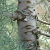 Blue Arizona Cypress Cupressus arizonica glabra