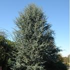 Blue Atlas Cedar Cedrus atlantica 'Glauca'