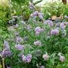 Blue Potato Vine, Chilean Potato Bush Solanum crispum glasnerium Blue