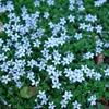 Blue Star Creeper Laurentia fluviatilis Lavender/Blue