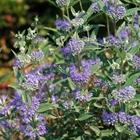 Bluebeard, Blue Spiraea, Blue Mist Caryopteris clandonensis 'Dark Knight' Blue