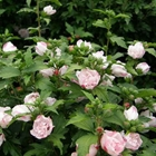 Blushing Bride Rose of Sharon Hibiscus syriacus 'Blushing Bride' Pink