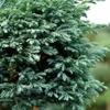 Boulevard Cypress Chamaecyparis pisifera
