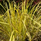 Bowle's Golden Sedge Carex elata 'Aurea' (syn. 'Bowles' Golden')
