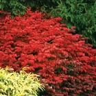 Burning Bush 'Fire Ball' Euonymus alatus 'Fire Ball' Red