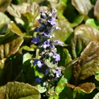 Carpet Bugleweed Ajuga 'Chocolate Chip' Blue