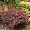 Cherry Bomb®  Japanese Barberry Berberis thunbergii