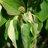 Chinese Dogwood Cornus kousa chinensis White