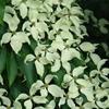 Chinese Dogwood Cornus kousa chinensis White