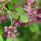 Chocolate Vine Akebia quinata Purple-violet