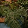 Christmas Fern Polystichum acrostichoides
