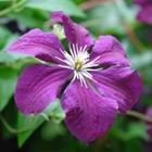 Clematis Clematis viticella 'Etoile Violette' Purple-violet