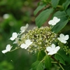 Climbing Hydrangea Hydrangea anomala petiolaris White