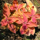 Coleus Coleus 'Rustic Orange' Orange