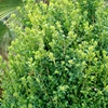 Common or English Boxwood Buxus Sempervirens