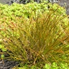 Copper Hair Sedge Carex testacea