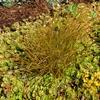 Copper Hair Sedge Carex testacea