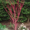 Coral Bark Maple Acer palmatum