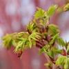 Coral Bark Maple Acer palmatum