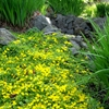 Creeping Jenny Lysimachia nummlaria Yellow
