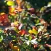 Creeping Oregon Grape Mahonia repens Yellow