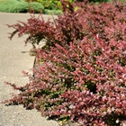 Crimson Pygmy Japanese Barberry Berberis thunbergii 'Atropurpurea Nana' Yellow