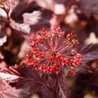 Diablo® Ninebark Physocarpus opulifolius 'Monlo' Pink