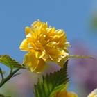Double Flowered Kerria Kerria japonica 'Pleniflora' Yellow