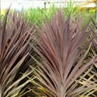Dracaena Palm Cordyline australis 'Red Sensation' White