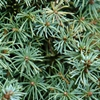 Dwarf Alberta Spruce Picea glauca