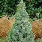 Dwarf Alberta Spruce Picea glauca 'Alberta Blue' ('Haal') Cream/Beige
