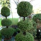 Dwarf Alberta Spruce Picea glauca 'Conica' Cream/Beige