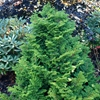 Dwarf Hinoki Cypress Chamaecyparis obtusa