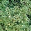 Dwarf Sawara Cypress Chamaecyparis pisifera