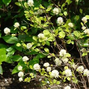 Fothergilla Gardenii Blue Mist Dwarf Witch Alder White