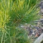 Eastern White Pine Pinus strobus