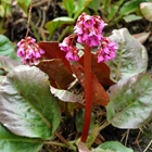 Elephant Ears, Heartleaf Bergenia Bergenia cordifolia 'Winter Glow' (syn Winterglut) Red