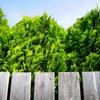 Emerald Green Arborvitae Thuja occidentalis