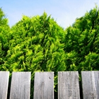 Emerald Green Arborvitae Thuja occidentalis 'Smaragd' Select One ...