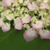 Endless Summer® Hydrangea Hydrangea macrophylla
