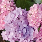 Endless Summer® Hydrangea Hydrangea macrophylla 'Bailmer' Pink