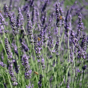 lavandula angustifolia 39 hidcote superior 39 english lavender. Black Bedroom Furniture Sets. Home Design Ideas