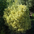 Euonymus Euonymus japonicus 'Silver King'